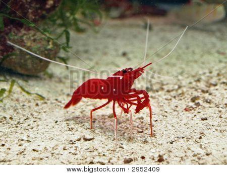 Red-Shrimp