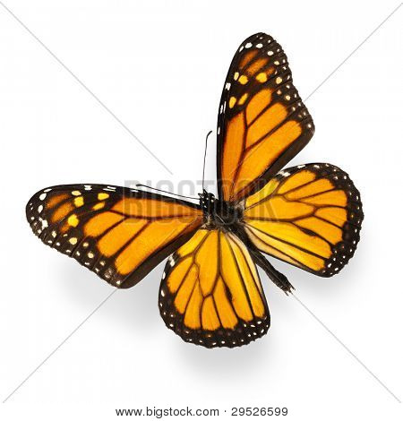 Monarch Butterfly Isolated on White Ultra-High Resolution