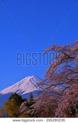 Cherry Blossoms Of Nagasaki Park In Lake Kawaguchi Of Blue Sky And Mt. Fuji 04/13/2019