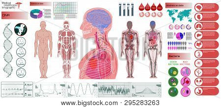 Human Anatomy, Body With Internal Organs. Medical Infographic Set. Illustration Of Heart Scan, Human