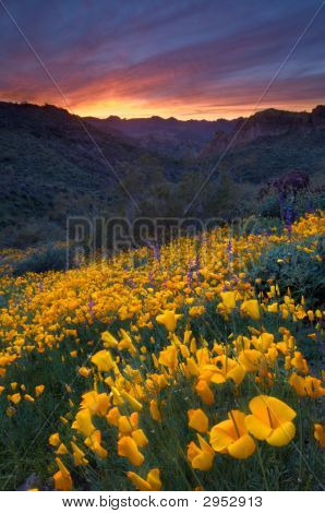 Desert Sunset And Poppies