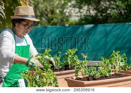 A Senior Woman Potting Geranium Flowers, Outdoors