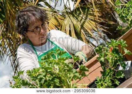 A Senior Woman Potting Geranium Flowers, Outdoors
