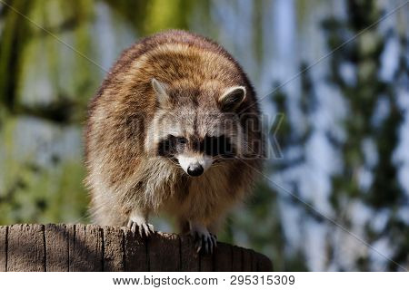 Full Body Of Male Common Raccoon. Photography Of Nature And Wildlife.