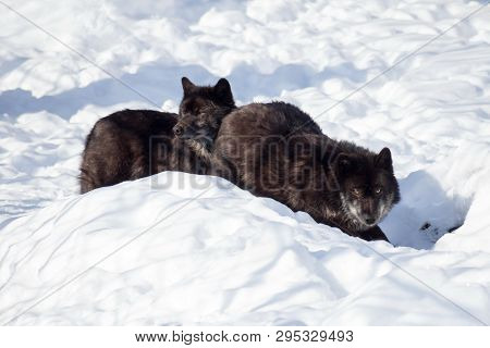 Two Black Canadian Wolves Are Standing On The White Snow. Canis Lupus Pambasileus.