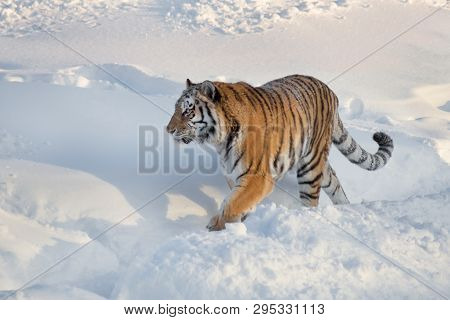 Wild Siberian Tiger Is Walking On The White Snow In The Park. Panthera Tigris Tigris. Animals In Wil