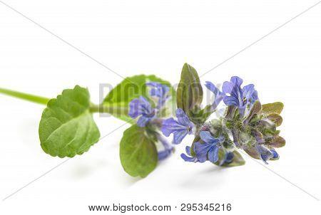 Blue Bugle (ajuga Reptans) Flower Isolated On White