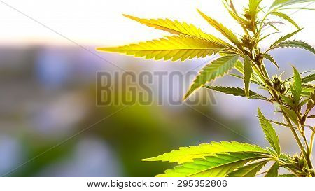 Cannabis Cbd Oil. Cannabidiol Medical Marijuana Concept. Hemp Industrial Plantation. Cannabis Plant
