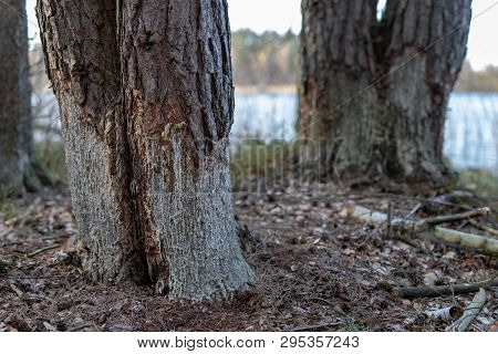Mutilated Trees By Beavers. Pine Stripped Of Bark By Beavers.