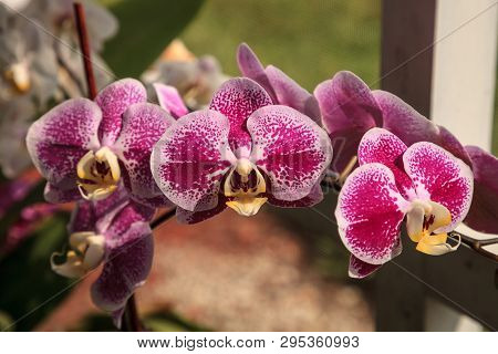 Cluster Of Purple Oncidium Orchid In A Naples