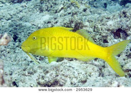 yellowsaddle goatfish (parupeneus