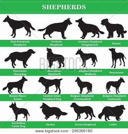 Set Of 20 Shepherds Dogs. Vector Set Of Shepherds Breeds Dogs Standing In Profile. Isolated Dogs Bre