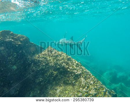 A White-tipped Reef Shark Swims Along A Reef At Isla Bartolome