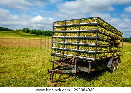 Trailer with tobacco sprouts ready for planting
