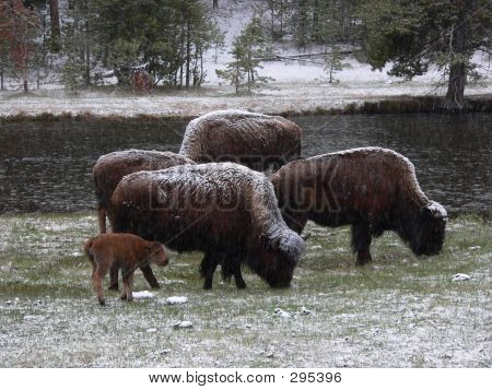 Bison Family In Snow