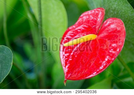 Close Up Of Red Anthurium Flower For Background