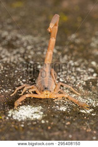 Head-on view of a Striped Bark Scorpion with his stinger above his back ready for action