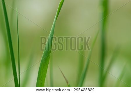 Close Up Of Grass Leaves Nature Background. Nature Background Of Grass Leaves. Green Nature Backgrou