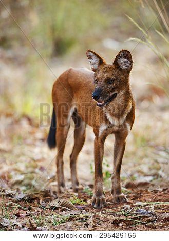 Closview Of Wild Dog, Tadoba, Maharashtra State Of India