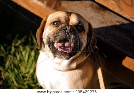 Portrait Of Smiling Pug Standing Under Terrace