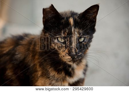 Portrait Of Cat With Its Ear Being Partially Ripped Off