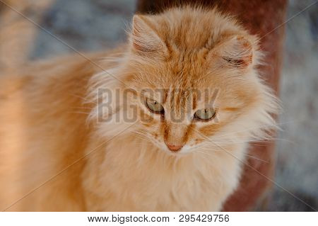 Close-up Of A Curious, Fluffy Ginger Cat