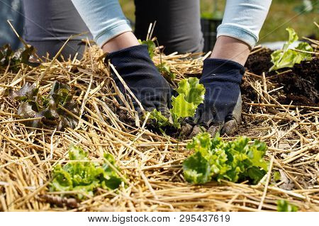 Gardener Planting Lettuce Seedlings In Freshly Ploughed And Straw Mulched Garden Beds. Organic Garde
