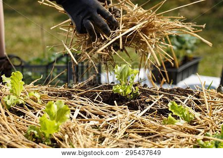 Gardener Planting Seedlings In Freshly Ploughed Garden Beds And Spreading Straw Mulch. Organic Garde