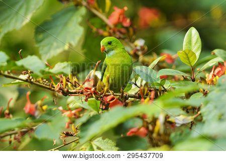 Vernal Hanging Parakeet, Loriculus Vernalis, Dandeli, Karnataka State Of India