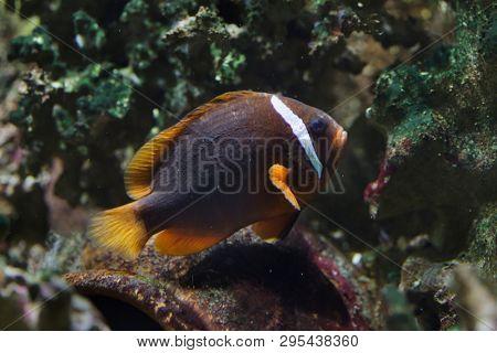 Tomato clownfish (Amphiprion frenatus), also known as the blackback anemonefish.