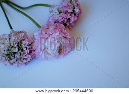 Light Pink Flowers (ranunculus) Isolated On White Background. Pastel Colors. Background For Congratu