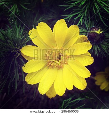 Closeup Open Beautiful Adonis Flower, Spring Medicinal Primrose. Adonis Vernalis Good Honey Plant