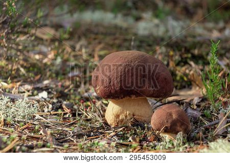 Two Beautiful Little Mushrooms Boletus Edulis, Known As A Penny Bun, Grow In A Moning Forest At Sunr
