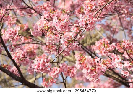 Branch of the blossoming sakura with pink flowers, Japan