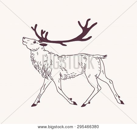 Outline Drawing Of Walking Male Deer, Reindeer, Hart Or Stag With Gorgeous Antlers. Graceful Wild An