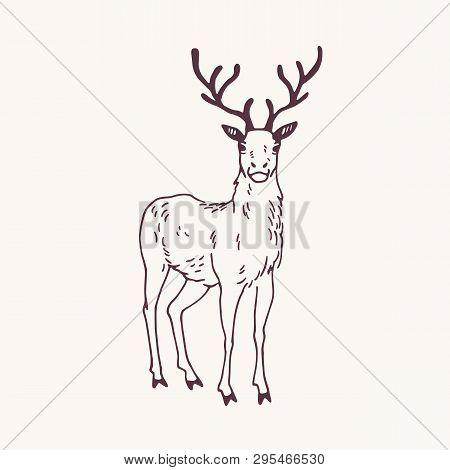 Elegant Drawing Of Standing Male Deer, Reindeer, Hart Or Stag With Beautiful Antlers. Adorable Wild