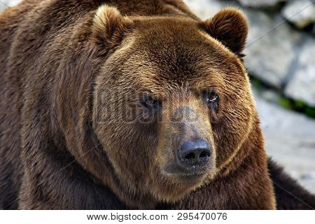 Brown Bear, Or Ordinary Bear (lat. Ursus Arctos) Is A Predatory Mammal Of The Bear Family; One Of Th