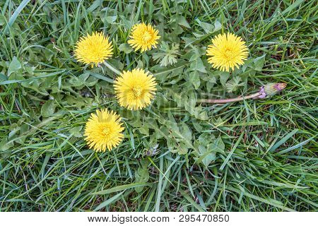 Buds, Leaves And Bright Yellow Flowers Of A Dandelion Plant Growing Among The Grass In A Dutch Meado