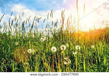 Summer landscape with white fluffy dandelions on the foreground under soft sunlight, summer meadow landscape scene