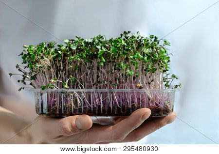 A Man Holds In His Hand Fresh And Green Sprouts Of Germinated Seeds Of Red Cabbage Are Rich In Diges