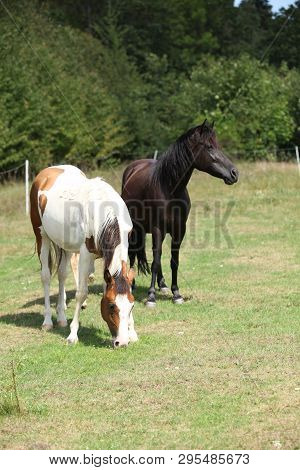 Two Horses On Pasturage