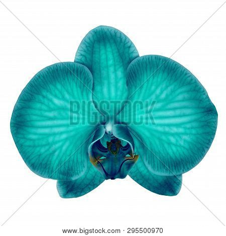 Cyan Cerulean Orchid Flower Isolated White Background With Clipping Path. Flower Bud Close-up. Natur