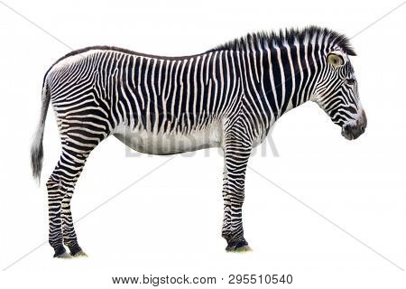 Grevys zebra isolated on white backgorund. This largest of  the zebra species and is endangered. Found in the savannahs and grasslands of northern Kenya and southern Ethiopia