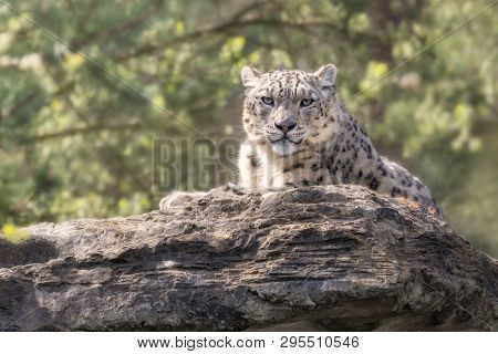 Adult snow leopard resting on rocky ledge in soft golden sunshine. Space for text.