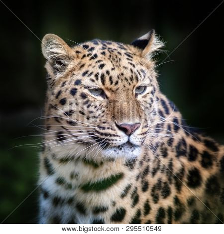 Adult Amur Leopard. A species of leopard indigenous to southeastern Russia and northeast China, and listed as Critically Endangered. Space for text.