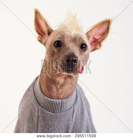 Close Up Portrait Of A Male Chinese Crested Dog In Gray Sweater On White Background