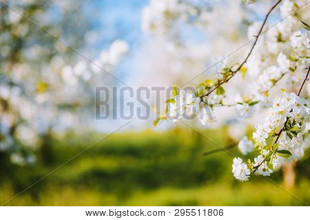 Attractive ornamental garden with blooming lush trees on a sunny day. Fresh seasonal background. Flowering orchard in spring time. Scenic image of trees in idyllic garden. Beauty of earth, Ukraine.