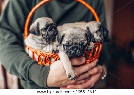 Young Man Holding Basket With Pug Dog Puppies. Little Puppies Having Fun. Breeding Dogs