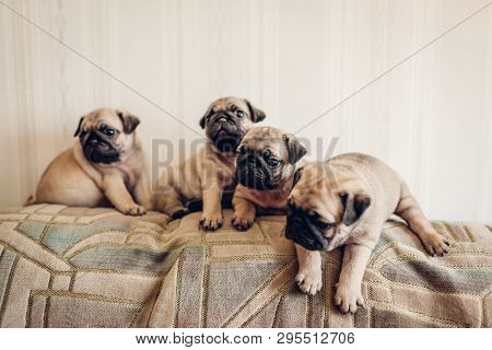 Pug Dog Puppies Sitting On Couch. Little Puppies Having Fun. Breeding Dogs