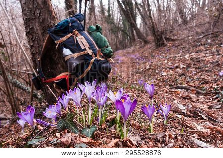 View Of Blooming Spring Flowers Crocus Growing In Wildlife. In Background Blurred, Hiker Backpack